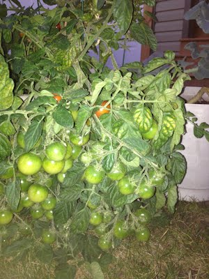 healthy productive tomatoes grown in a sheltered area at home